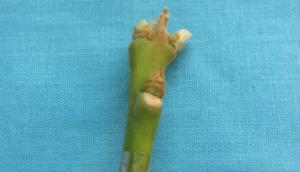 Caída de peciolos, 10 días después de injertación.